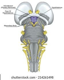 hypothalamus, infundibulum, brainstem, brain stem, ventral view, posterior part of the brain, adjoining and structurally continuous with the spinal cord, parts of the diencephalon