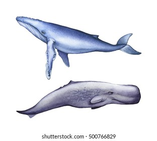 Iillustrations of blue whale, sperm whale. Realistic watercolor painting.  Isolated on white background