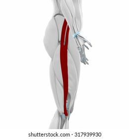 Iliotibial tract - Muscles anatomy map