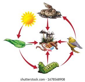 Illustriertes Beispiel für die Lebensmittelkette: Deiche - Raupe - Vogel - Schlange.