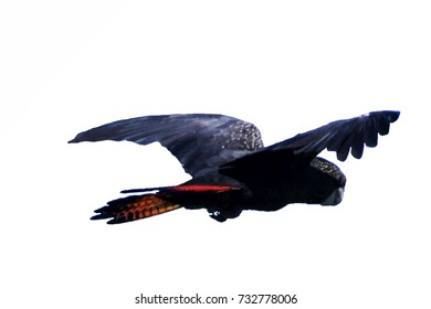 Illustrated isolated Banks' Black Cockatoo (Red-tailed Cockatoo) in flight