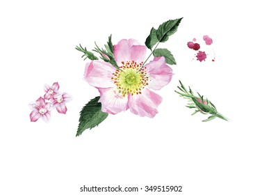 illustrated watercolor dog-rose  flower