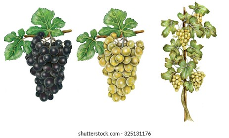 illustration of 2 grapes  bunch (black and white grapes) and one grapevine. (vitis vinifera)