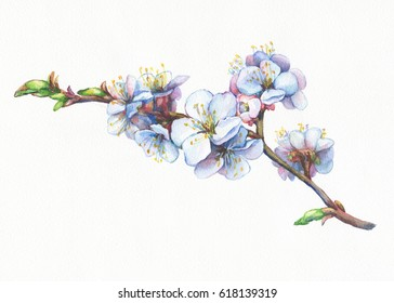 Illustration of apricot branch with flowers. Hand drawn watercolor painting. Background- watercolor paper.