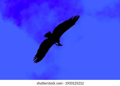 Illustration of black eagle on a blue background
