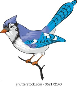 Illustration of blue jay bird. Isolated on white background.