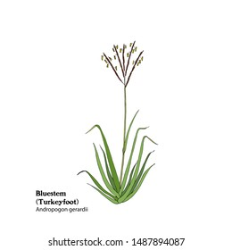 Illustration of Bluestem grass, Andropogon gerardii, Turkeyfoot, hand drawing.