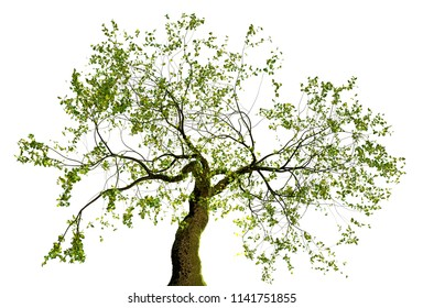 Illustration of a bonzai isolated on white background. 3d illustration