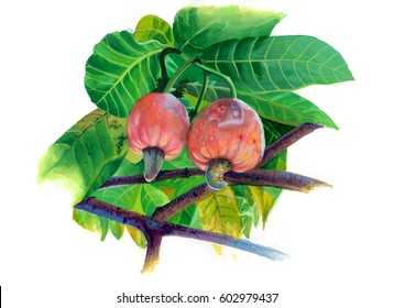 illustration of a cashew nut. Branch cashew nut tree with two pink fruits and leaves on a white background. Elements of packaging design brochures on healthy eating