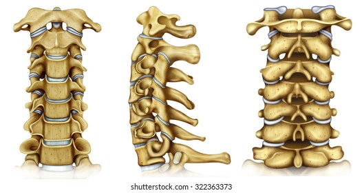 Illustration of the cervical vertebrae with lateral.frontal and back view.