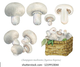 illustration of champignon mushrooms (Agaricus bisporus) on white background. Basket of champignon mushrooms.