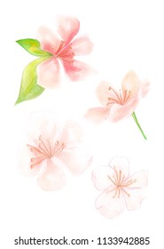 Illustration of a colored picture of a peach fruit, peach blossoms, peach products in color pink beige