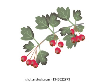 Illustration of a common hawthorn , Crataegus monogyna, branch with berries and a white background.