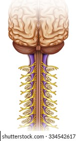 illustration composed of the brain and cervical vertebrae