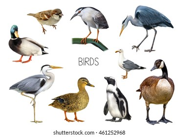 Illustration of different birds: crane bird, canada goose, sporrow, penguin, seagull, male and female mallard duck, heron standing isolated on white background