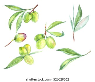Illustration drawing of fresh fruit on the branches of olive trees of different shapes
