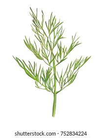Illustration drawing of a green watercolor pencil dill branches on an isolated background