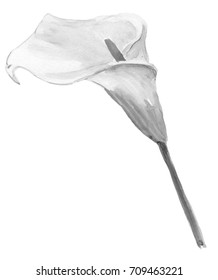 Illustration drawing of watercolor flower calla on isolated background. Black and white colors.