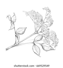 Illustration of an elderflower blossom with leaf and stem