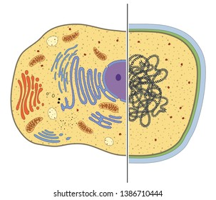 Illustration of eukaryotic and prokaryotic cells. Differences