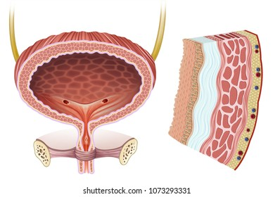 Illustration of the female bladder and a segment of the wall and the various layers that form the wall of the urinary bladder.
