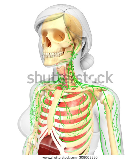 Illustration of Female body lymphatic, skeletal and respiratory system artwork