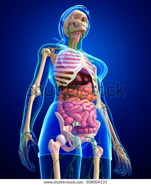 Illustration of Female body lymphatic, skeletal and digestive system artwork
