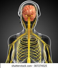 Illustration female nervous system artwork stock illustration illustration of female nervous system artwork ccuart Images