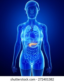 Illustration of female pancreas anatomy