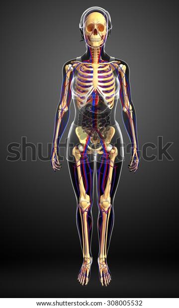 Illustration of female skeletal circulatory system
