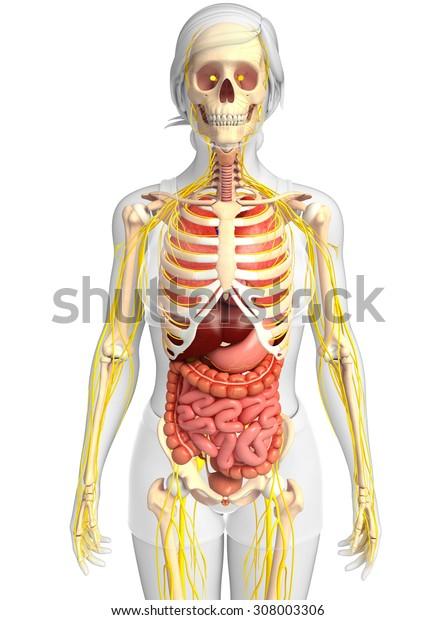 Illustration of Female skeleton with nervous and digestive system artwork