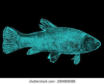 Illustration of a fish tench glowing in blue on a black background. Freshwater fish tench. Fishing catch. Blue glow in the dark. Fisherman's trophy. Beauty. Background image.