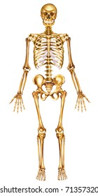 Illustration with front view of the human skeleton,