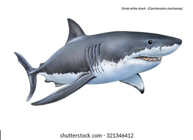 an illustration of a great white shark (Carcharodon carcharias)
