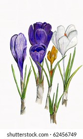 Illustration of a Group of Crocus Plants and Flowers.