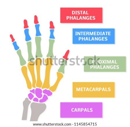 86d33c69b809 Illustration Hands Bones Colors Stock Illustration 1145854715 ...