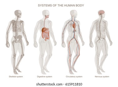 The illustration of Human Body Systems