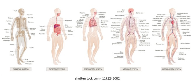 illustration Human Body Systems: Circulatory, Skeletal, Nervous, Digestive systems. Full-length isolated image of man on white background.