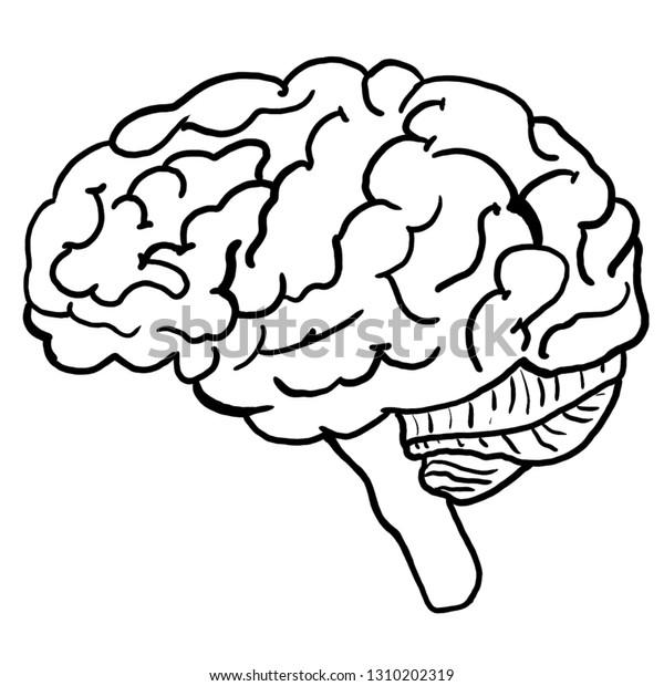 - Illustration Human Brain Anatomy Coloring Page Stock Illustration 1310202319