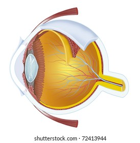 illustration of a human eye anatomy