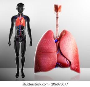 Illustration of human lungs anatomy