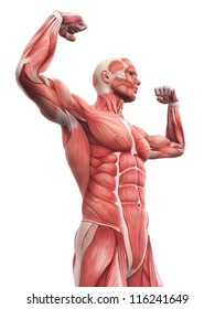 Illustration of Human Muscle Anatomy