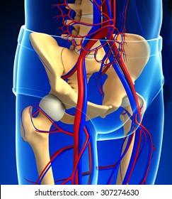 Illustration of human pelvic girdle circulatory system