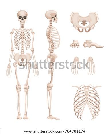 Illustration Human Skeleton Different Sides Bones Stock Illustration