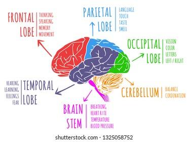 Illustration of human's brain anatomy and function