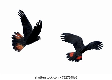 Illustration isolated Banks' Black Cockatoos (Red-Tailed Cockatoo) in flight