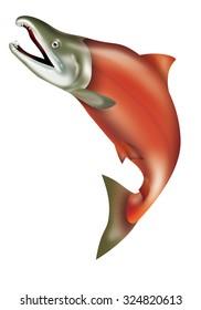 Illustration of jumping sockeye salmon. / Red salmon.