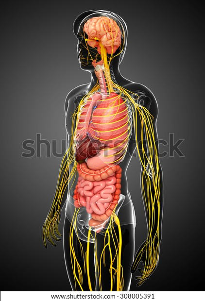 Illustration of Male body with nervous and digestive system artwork