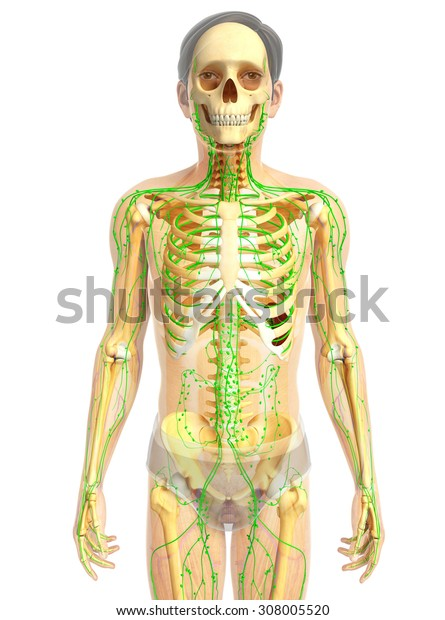 Illustration of Male skeleton with lymphatic system