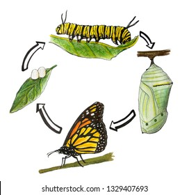 Illustration of the metamorphosis of the butterfly.